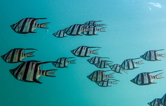 School of tropical fish swimming in clear blue ocean